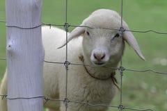 Sluit omhoog van schapen in landbouwbedrijf Stock Afbeelding