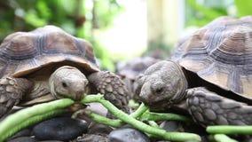 Sluit omhoog van schildpad het voeden stock video