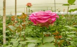 Sluit omhoog van selectieve nadruk van roze roze bloem in tuinserre, productie in Ecuador stock afbeeldingen