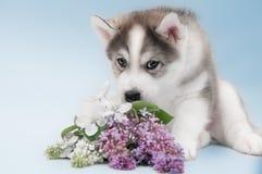 Sluit omhoog van Siberisch schor puppy Royalty-vrije Stock Foto