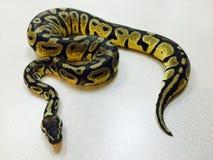 Sluit omhoog van slang die van de de balpython van het pastelkleurspook worden de gehouden stock foto's