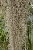Sluit omhoog van Spaans Moss Hanging royalty-vrije stock foto's