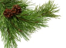 Sluit omhoog van sparrentak op witte achtergrond zonder schaduw wordt geïsoleerd die Pijnboomtak met kegels, close-up Kerstmis Ni stock afbeelding