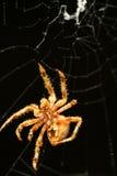 Sluit omhoog van spin en Web Royalty-vrije Stock Afbeeldingen
