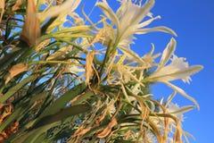 Sluit omhoog van strandgele narcissen en blauwe hemel Royalty-vrije Stock Foto's