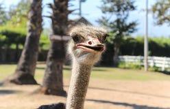 Sluit omhoog van struisvogel Royalty-vrije Stock Afbeeldingen