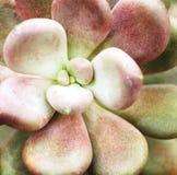 Sluit omhoog van Succulente Cactus Royalty-vrije Stock Afbeelding