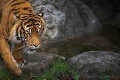 Sluit omhoog van Sumatran-Tijger Royalty-vrije Stock Fotografie