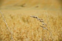 Sluit omhoog van tarwelandbouwbedrijf in het onderwijs Oude Landbouwbedrijf van Butser royalty-vrije stock fotografie