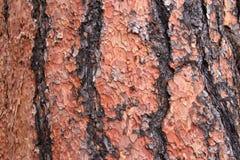 Sluit omhoog van textuur op boomstam van een Ponderosa-Pijnboomboom royalty-vrije stock foto's