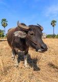 Sluit omhoog van Thaise buffels op het gebied met blauwe hemel Stock Afbeelding