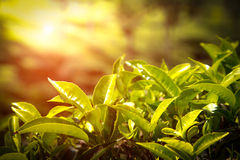 Sluit omhoog van theebladen De aanplantingen van de thee in India Royalty-vrije Stock Fotografie