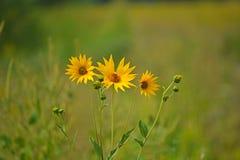 Sluit omhoog van trhee gele bloemen stock fotografie