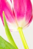 Sluit omhoog van tulp van onderaan Stock Foto's