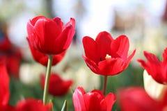 Sluit omhoog van tulpenbloem schietend vanuit een lage invalshoek in de lente Stock Afbeelding