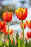 Sluit omhoog van Tulpenbloemen schietend vanuit een lage invalshoek in de lente Royalty-vrije Stock Fotografie