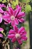 Sluit omhoog van twee bloemen op een clematis stock foto