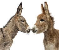 Sluit omhoog van twee de Provence ezelsveulen op wit wordt geïsoleerd dat Royalty-vrije Stock Foto's