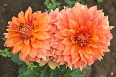 Sluit omhoog van twee oranje dahliabloemen Stock Afbeeldingen