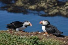 Sluit omhoog van twee papegaaiduikers die op Eiland van Lunga Hebrides rusten royalty-vrije stock afbeeldingen