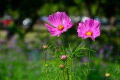 Sluit omhoog van twee roze Kosmosbloem op de achtergrond van het takonduidelijke beeld Stock Afbeelding
