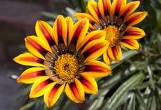 Sluit omhoog van Twee Trillende Oranje en Gele Daisy Flowers Stock Afbeelding