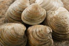 Sluit omhoog van Tweekleppige schelpdieren Littleneck Stock Afbeeldingen