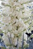 Sluit omhoog van vele bloemen van de yuccainstallatie in bloei stock foto