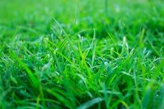 Sluit omhoog van vers dik gras met waterdalingen in vroege morn Stock Foto