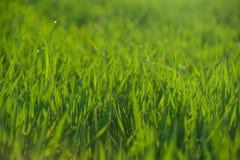 Sluit omhoog van vers gras met waterdalingen Stock Fotografie