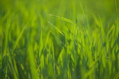 Sluit omhoog van vers gras met waterdalingen Royalty-vrije Stock Fotografie