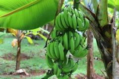 Sluit omhoog van verschillende vruchten die die op bomen hangen op de eilanden van Seychellen worden genomen stock foto