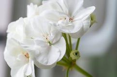 Sluit omhoog van verse witte bloem Stock Foto's