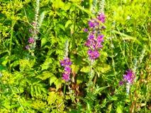 Sluit omhoog van violette bloemen, mediterrane flora royalty-vrije stock foto