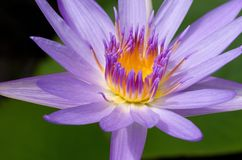 Sluit omhoog van violette lotusbloem Stock Fotografie