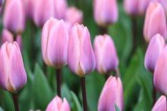 Sluit omhoog van violette tulpen Stock Afbeelding