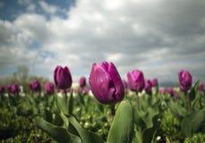 Sluit omhoog van violette tulpenbloemen royalty-vrije stock afbeeldingen