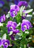 Sluit omhoog van viooltjes. Stock Fotografie
