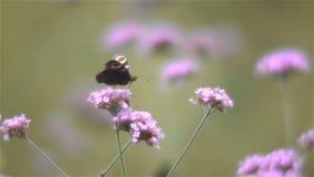 Sluit omhoog van vlinder op de bloemen van Ijzerkruidbonariensis stock videobeelden