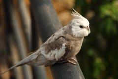 Sluit omhoog van vogel Cockatiel Royalty-vrije Stock Foto