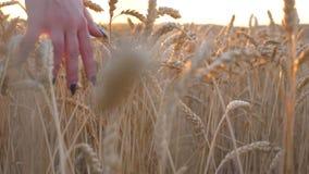 Sluit omhoog van vrouwelijke hand die zich over het rijpe tarwe groeien op de weide en wat betreft gouden oren van gewas bewegen  stock videobeelden