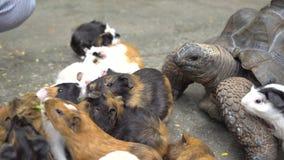Sluit omhoog van vrouwelijke hand voedende schildpad en proefkonijnen stock footage