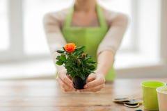 Sluit omhoog van vrouwenhanden houdend rozenstruik in pot Stock Foto's