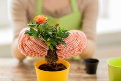 Sluit omhoog van vrouwenhanden plantend rozen in pot royalty-vrije stock afbeeldingen