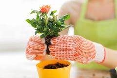 Sluit omhoog van vrouwenhanden plantend rozen in pot Royalty-vrije Stock Foto's