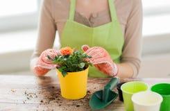 Sluit omhoog van vrouwenhanden plantend rozen in pot stock afbeelding