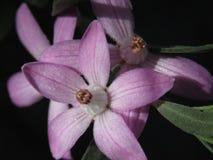 Sluit omhoog van waxflower, Eriostemon Royalty-vrije Stock Afbeelding