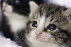 Sluit omhoog van 4 weken oud katjes in de dekens Royalty-vrije Stock Afbeeldingen