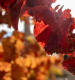 Sluit omhoog van wijngaardbladeren in de herfst stock foto's