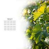 Sluit omhoog van wijngaarden over wit Royalty-vrije Stock Fotografie